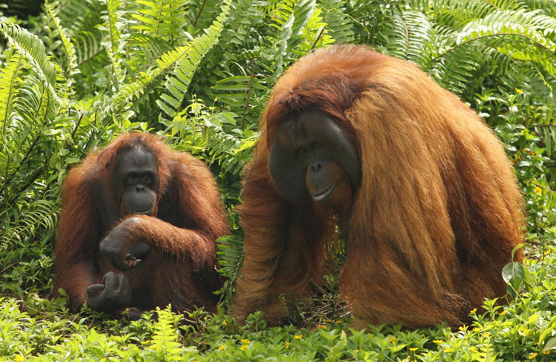 Orang Utan di Borneo Orangutan Survival ( BOS ) Samboja, Kalimantan Timur. Foto: IDRIS PRASETIAWAN