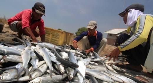 Ekspor Ikan Bandeng Sulsel Meningkat Umpan Ikan Tuna Pemicunya Fajar