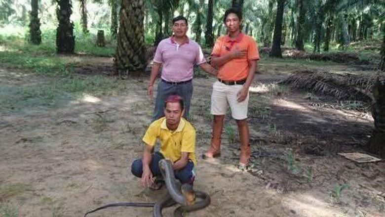 King Kobra Raksasa yang Viral, Akhirnya Dilepas ke Hutan